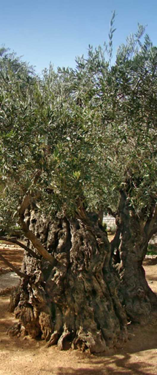 olive tree in Garden of Gethsemane